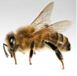 Lebah Apis Mellifera Madu Acacia