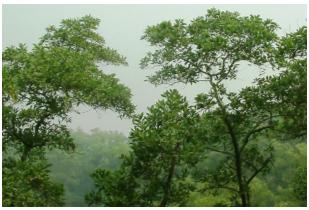 Pokok Acacia Mangium